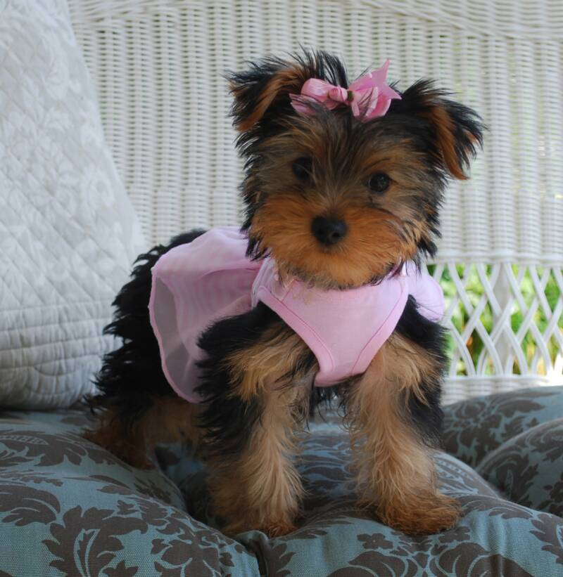 for sale yorkie Adult