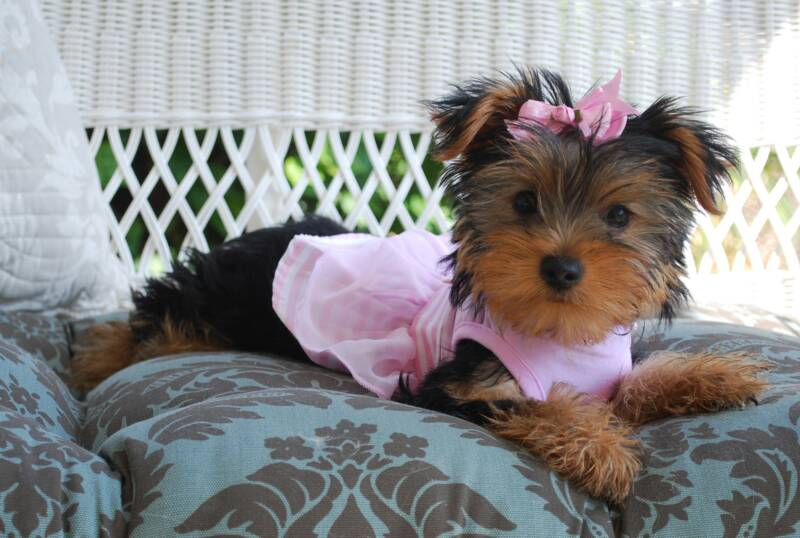 LOLA babydoll faced female yorkie puppy fr sale