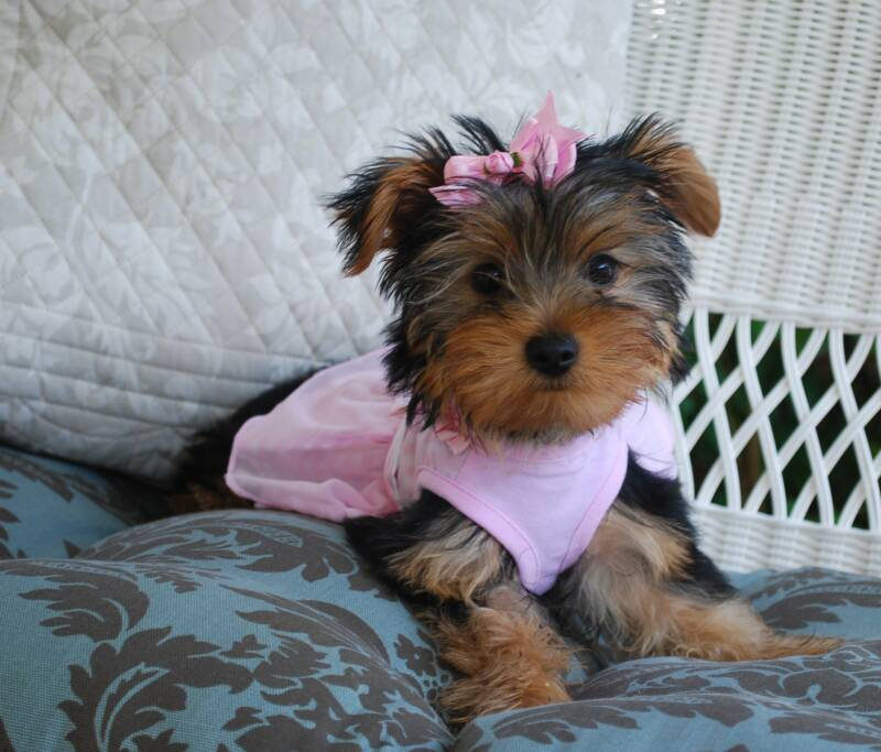 AJJLS Yorkies - Yorkie Puppies for Sale