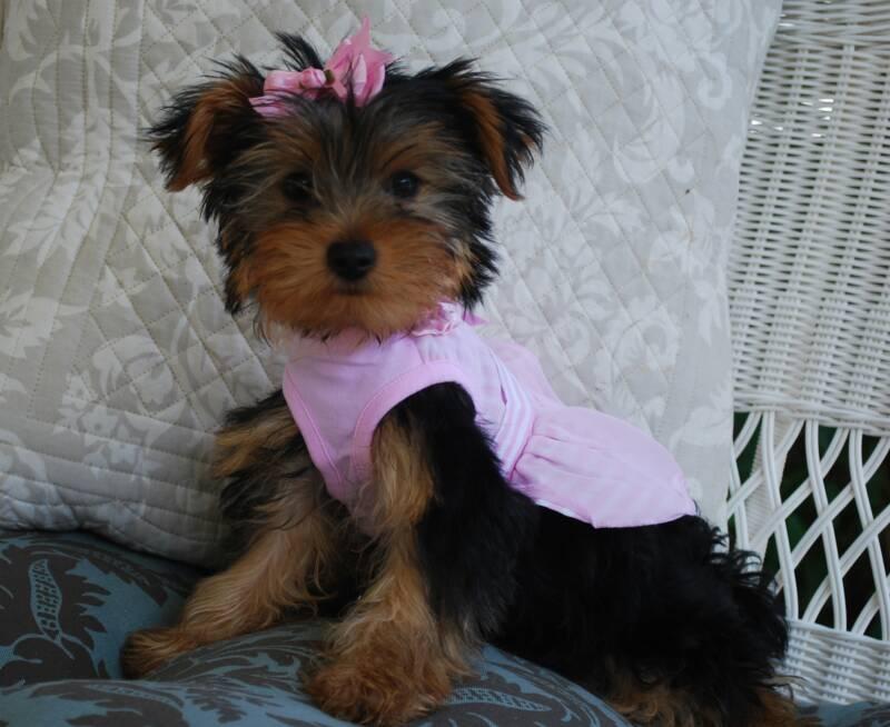 AJJLS Yorkies - Yorkie Puppies for Sale